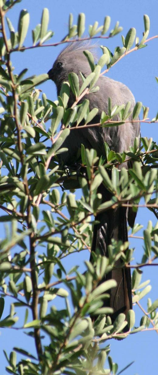 A grey lourie