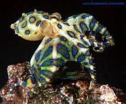 small blue-ringed octopus