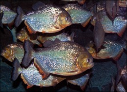 piranhas usually hunt in groups