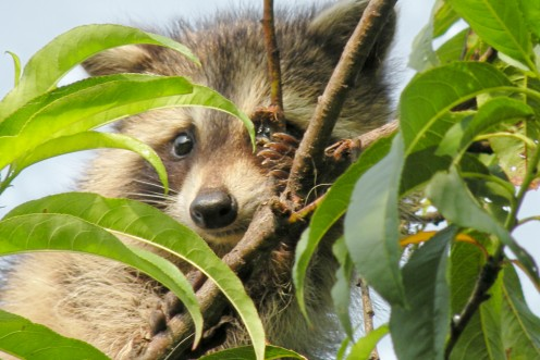 Baby raccoon hides in the top of the peach tree.