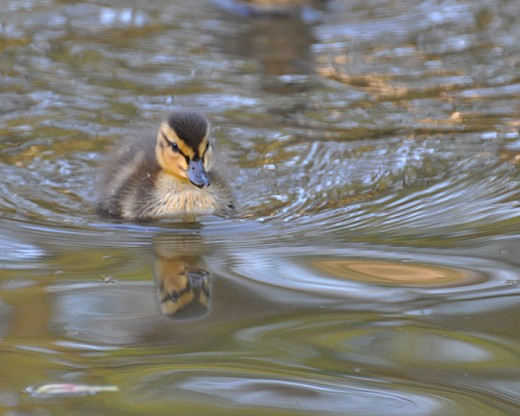 Pretty little mallard duckling