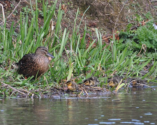 Mallard ducks and duckling 'Time for bed'