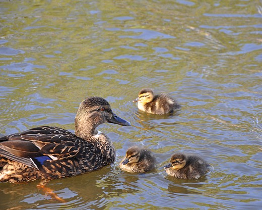 Mother mallard and babies