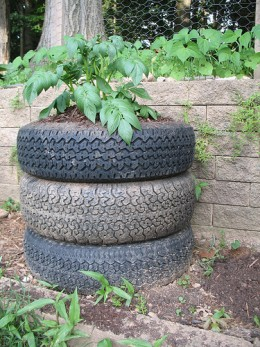 Growing Potatoes in a Tire Planter - Sonic Bloom