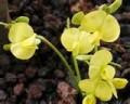 hui ku maoli ola flower - kauai