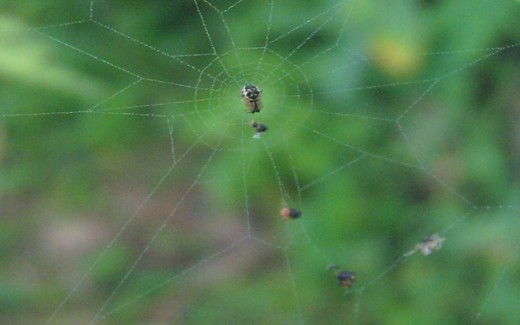 The Spider with its Captives on Its Parlor (Photo by Travel Man)