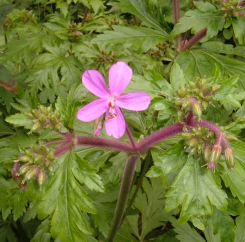 Canary Island Geranium (Geranium canariense)