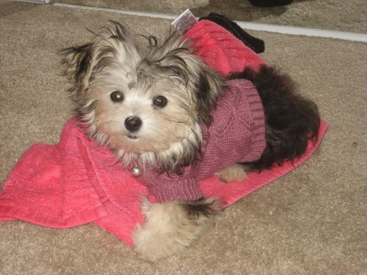 "A ""morkie,"" a cross between a Yorkshire Terrier and a Maltese"