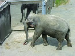 Elephants recognize their reflection as their own -  a sign of higher intelligence
