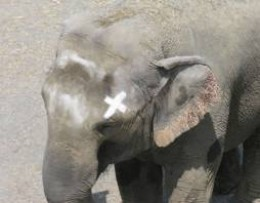 Elephant with painted mark out of its sight of vision