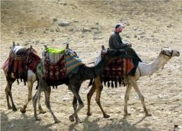 Camels at the pyramids of Giza.