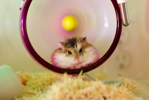 Silent Spinners are perfect choices for dwarf hamsters, but may not fit your syrian.