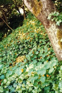 Nasturtiums used as ground cover.