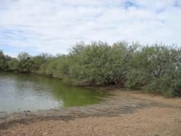 An algae bloom in a pond.