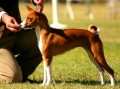 Basenji Facts and Basenji Dog Breed Information