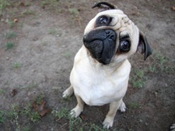 How the Pug Dog With the Googly Eyes Thinks
