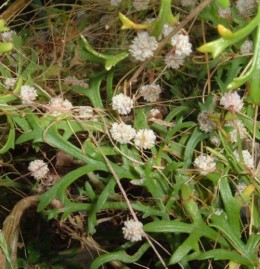 Dodder growing in Tenerife