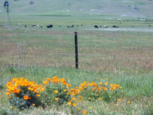 Santa Ysabel Poppies