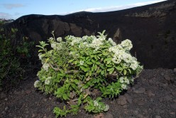 Tenerife herbs: Canary Island Mint or Menta Poleo for tea