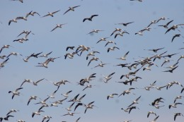 Canadian Geese who fly over our acres on an annual basis..sometimes, there are at least 1000 of them..or more.   They look like an Eischer lithograph