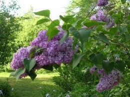 lilacs in the air..my favorite scent