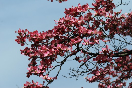Magnolia Tree with Flowers