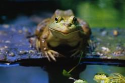 Buford the big green Bullfrog.