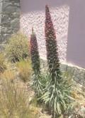 Tenerife herbs: Echium the Canarian Viper's Bugloss or Tajinaste