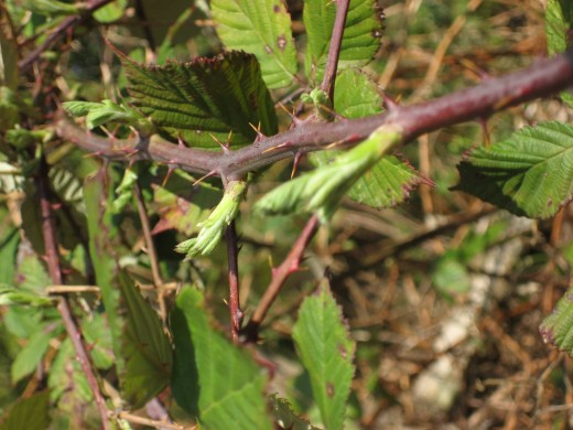 Blackberry shoots on a branch of the invasive Himalaya variety