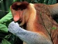 Weird Animals - the Proboscis Monkey