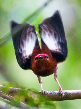 Club-winged Manakin (Machaeropterus deliciosus)