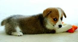 a pembroke welsh corgi puppy