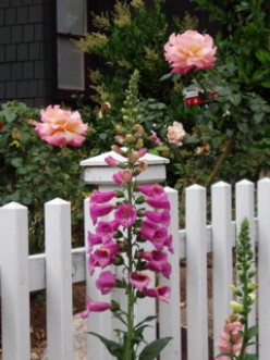 Foxglove, Fence, and Roses