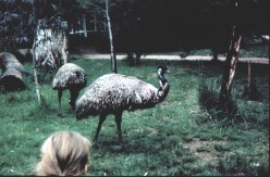 Australian Native Birds - Emu