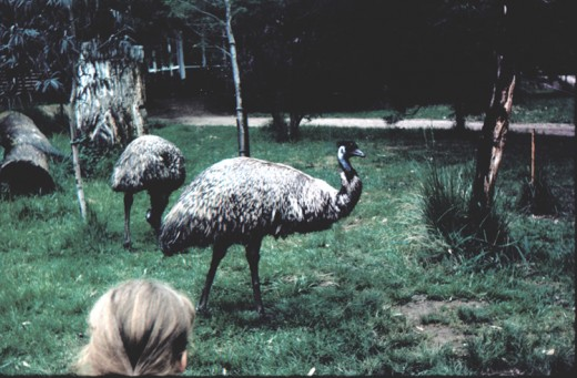 Emu - circa 1971 via 35 mm transparency.  Copyright - Agvulpes