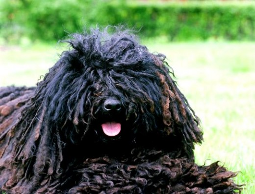 Dogs That Look Like Mops