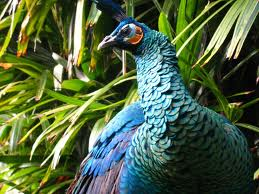The Congo Peacock