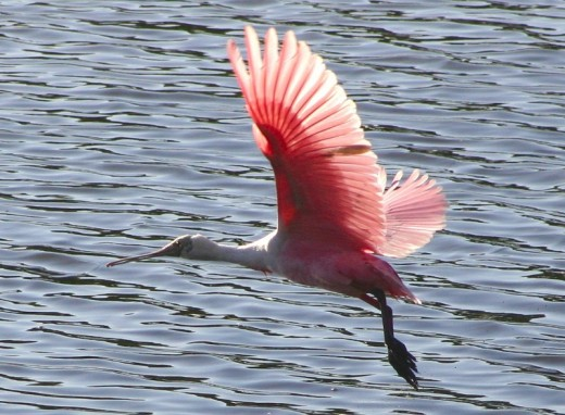 Roseate Spoonbill takes flight.