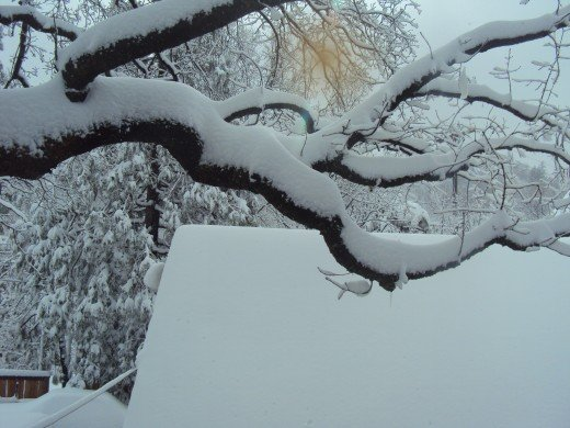 Snow is a few inches thick on the branches of this large oak tree.
