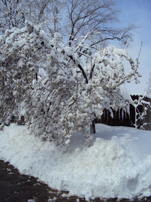 A pear tree heavily laden with snow and blossoms.