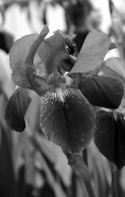 This photo of an Iris was in Black and White