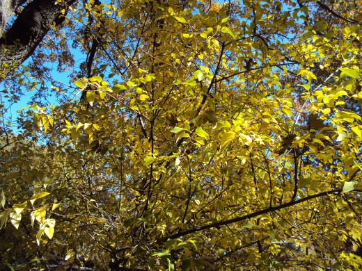 Yellow leaves on a lilac tree in October.