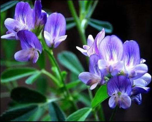 Alfalfa blossoms