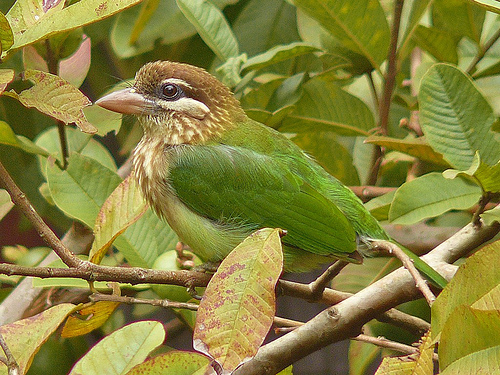 The white cheeked Barbet