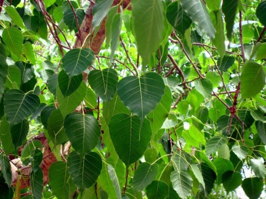 The sacred Fig - The Peepal tree