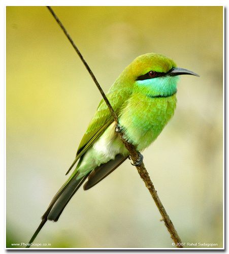 The Green Bee eater