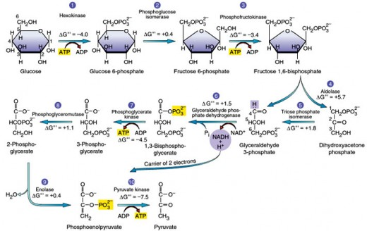 The ten enzymes-catalyzed reactions of glycolysis