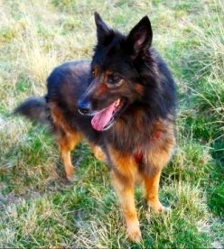 Belgian Shepherd Dog Breed Facts and Information
