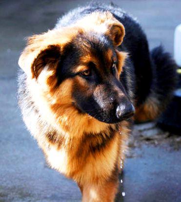 The Belgian Sheepdog