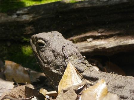 Sphenodon punctatus pretending to be a leaf,.